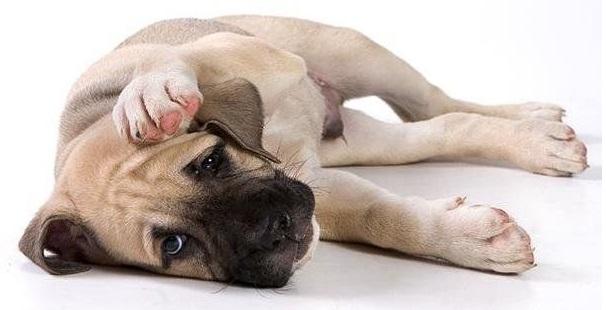 Состояние пса при отравлении