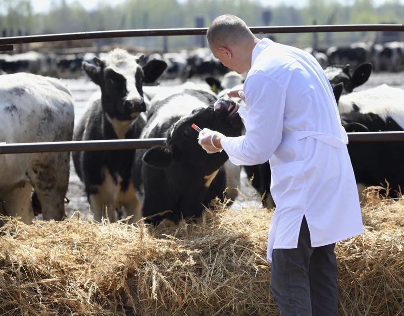 Введение коровам антибиотиков