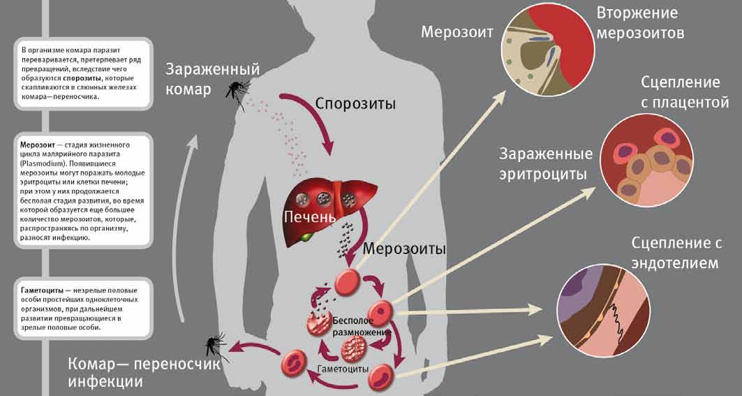 Внедрение плазмодий при укусе