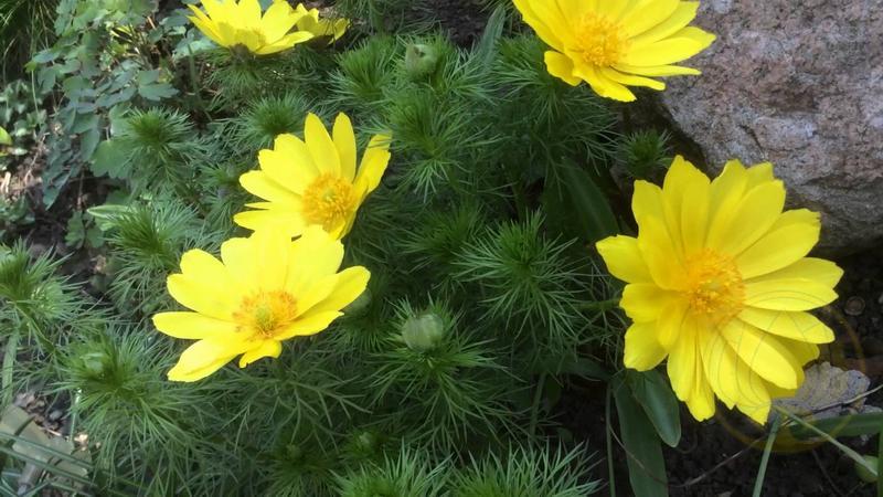 Растение адонис-бром