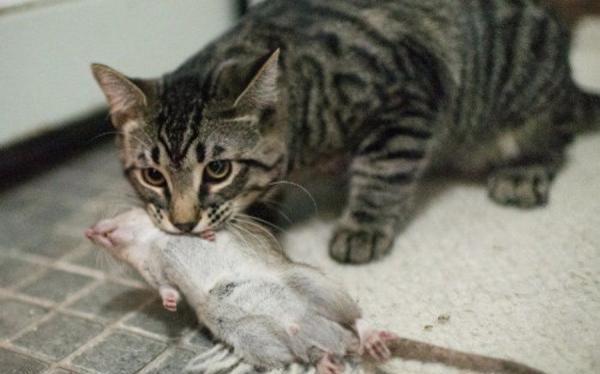 Кот грызет крысу