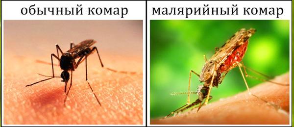 Отличия Anopheles от обычного комара